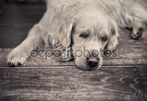 Грустно белая собака