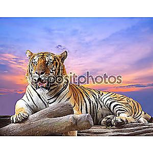 Тигр, глядя то на скале с красивое небо на закате