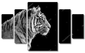 Портрет Суматранский тигр в черно-белом