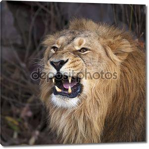 молодой Азиатский лев показывает его огромные клыки, отдыхая в лесной тени. площади изображения. Царь зверей, большой кошкой в мире. наиболее опасные и могучий хищник мира.