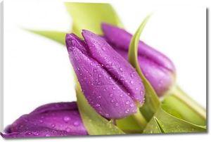 Фиолетовые тюльпаны в каплях росы
