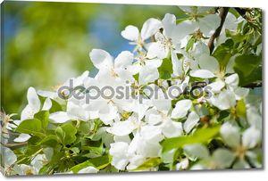 Яблони цветут в ботаническом саду