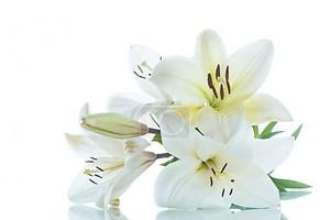 Цветущие лилии на белом фоне