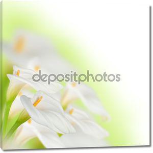 Красивые белые каллы