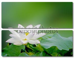 Цветение Лотоса