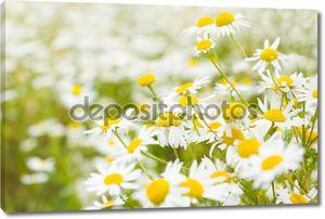 Яркие ромашка поле весной