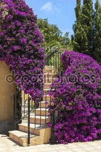 лестница, окруженный фиолетовый бугенвилии
