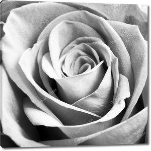 Черно белое фото розы