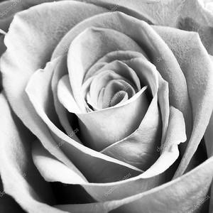 Monochrome macro close up shot of  Rose flower head