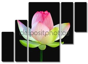 Lotus на черном фоне