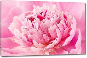 Пион цветок макро