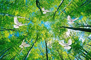 Голуби в макушках соснах