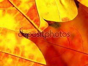 Оранжевые и красные листья как пламя