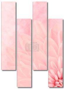 розовые хризантемы лепестки макросъемки