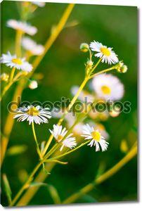 Дейзи цветок крупным планом фон