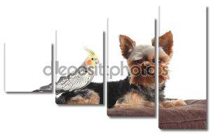 Йоркширский терьер домашние животные и птица Корелла вместе позирует на подушку