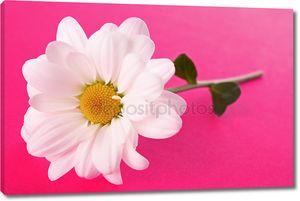 Белые ромашки на розовом фоне