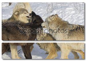 волки взаимодействующих