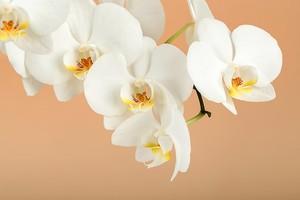 Белоснежные прекрасные орхидеи