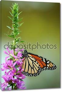 Кормление бабочка монарх
