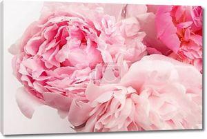 Красивый розовый цветок Peonie на светлом фоне