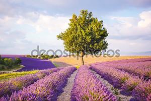 Лаванда полей вблизи Валансоль в Провансе, Франция на закате