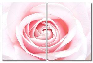 Красивая нежная роза