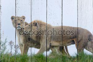 Пара диких львов