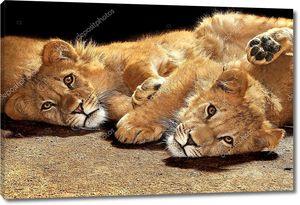 Два ленивые молодые львы
