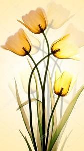 Желтые тюльпаны полупрозрачные