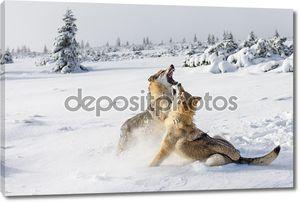 Волки дерутся  в снегу