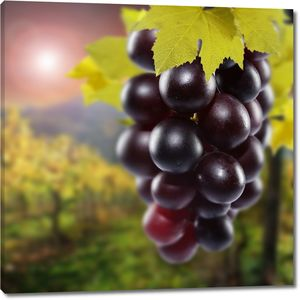 Веточка спелого винограда