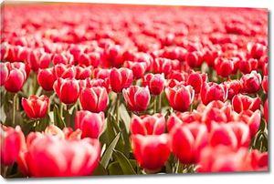 Поле красных тюльпанов в солнечный летний день