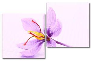закройтесь цветов шафрана
