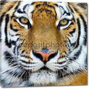 Красивый Тигр детеныш крупным планом вид грозным