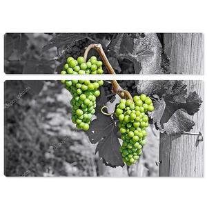 Зеленый виноград на черный и белый