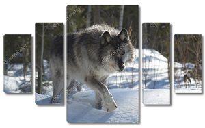 Cерый волк