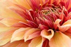 цветочный крупный план хризантемы