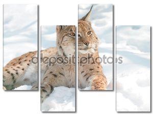 Рысь на снежном полотне