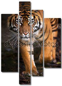 Суматранский тигр, выйдя из тени