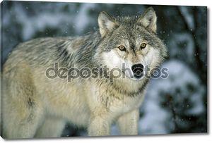 Серый старый волк