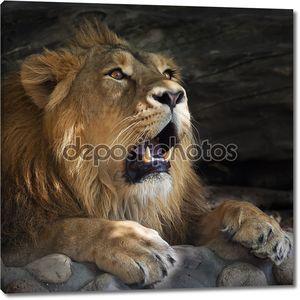 Очень удивлен Азиатский лев с открытым ртом. Головы и могучие лапы лежа царь зверей.