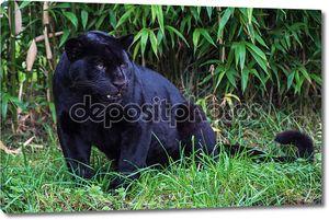 черный Ягуар на фоне травы