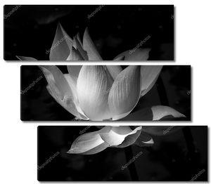 черно-белый лотос