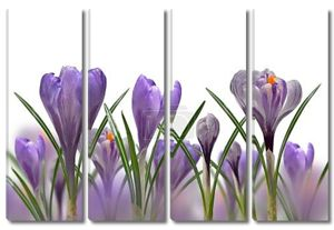 Весенние цветы Крокус