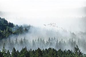 Туман над бором